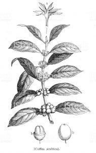 Caffea arabica